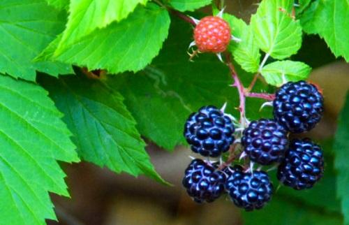 Moras, un fruto que brinda salud a las encias