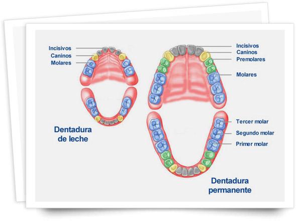 dientes-permanentes-y-dientes-temporales
