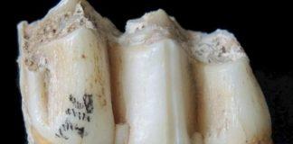 esmalte dental dieta mamiferos fosiles